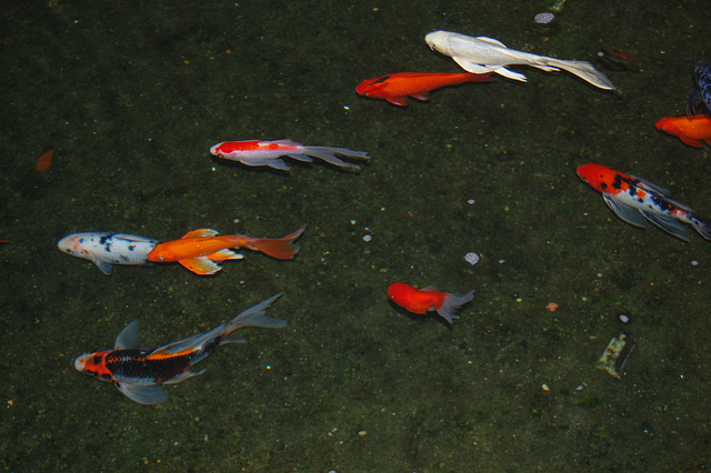 Koi fish information the koi essentials for Can you eat koi fish